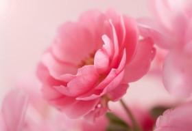 Cải thiện sức khỏe với hoa hồng